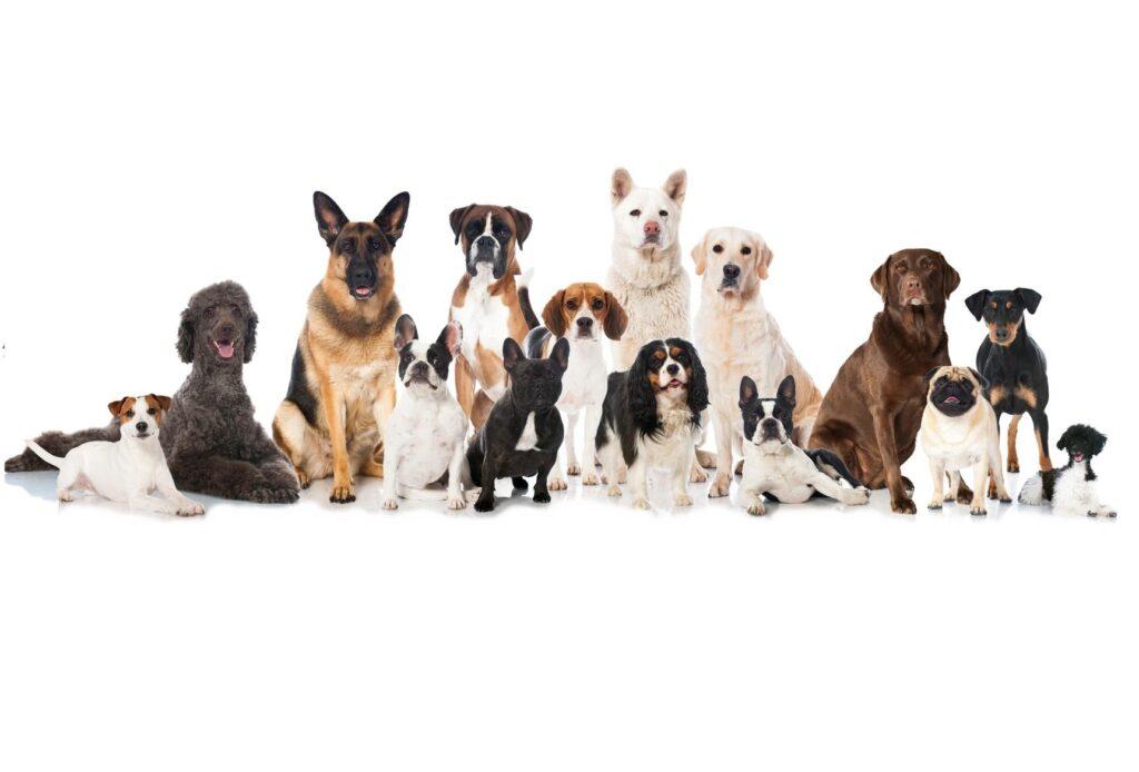 como_identificar_la_raza_de_un_perro_7495_orig